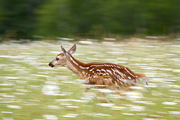 Captive whitetail deer fawn (Odocoileus virginianus) running through a field of wildflowers, Sandstone, Minnesota, United States of America, North America