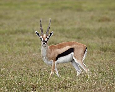 Thomson's gazelle (Gazella thomsonii) buck, Ngorongoro Crater, Tanzania, East Africa, Africa