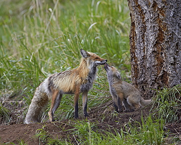 Red fox (Vulpes vulpes) (Vulpes fulva) kit licking its father's mouth, Yellowstone National Park, Wyoming, United States of America, North America