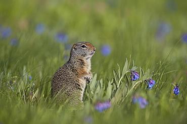 Uinta ground Squirrel (Urocitellus armatus) among mountain bluebell (Mertensia ciliata), Yellowstone National Park, Wyoming, United States of America, North America