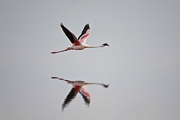 Lesser flamingo (Phoeniconaias minor) in flight, Serengeti National Park, Tanzania, East Africa, Africa