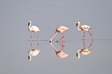 Line of lesser flamingo (Phoeniconaias minor), Serengeti National Park, Tanzania, East Africa, Africa