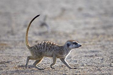 Meerkat (suricate) (Suricata suricatta), Kgalagadi Transfrontier Park, encompassing the former Kalahari Gemsbok National Park, South Africa, Africa