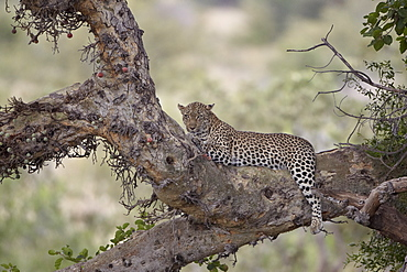 Leopard (Panthera pardus) in a fig tree, Kruger National Park, South Africa, Africa