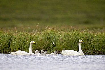 Whooper Swan (Cygnus cygnus) and four cygnets swimming, Iceland, Polar Regions