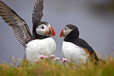 Atlantic Puffin (Fratercula arctica) pair, Iceland, Polar Regions