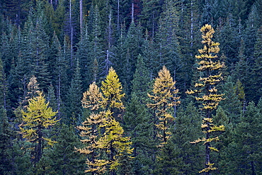 Western larch (Larix occidentalis) in the fall, Mount Hood National Forest, Oregon, United States of America, North America