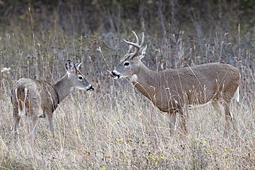 Two white-tailed deer (whitetail deer) (Virginia deer) (Odocoileus virginianus) bucks, Custer State Park, South Dakota, United States of America, North America