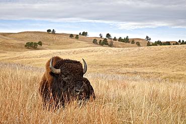 Bison (Bison bison) bull, Custer State Park, South Dakota, United States of America, North America