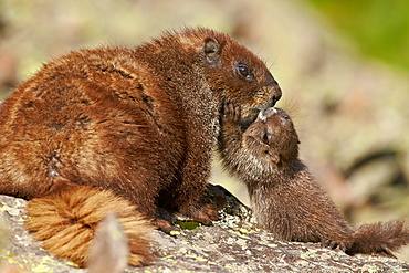 Young yellow-bellied marmot (yellowbelly marmot) (Marmota flaviventris) adult and young, San Juan National Forest, Colorado, United States of America, North America