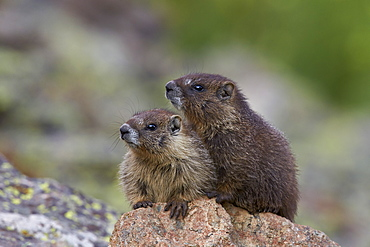 Two young yellow-bellied marmot (yellowbelly marmot) (Marmota flaviventris), San Juan National Forest, Colorado, United States of America, North America