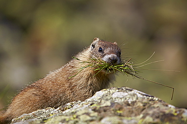 Young yellow-bellied marmot (yellowbelly marmot) (Marmota flaviventris) with grass in its mouth, San Juan National Forest, Colorado, United States of America, North America
