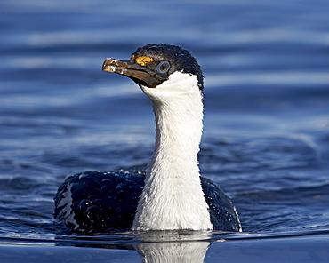 Blue-eyed shag or blue-eyed cormorant or Antarctic cormorant (Phalacrocorax atriceps) swimming, Paulete Island, Antarctic Peninsula, Antarctica, Polar Regions