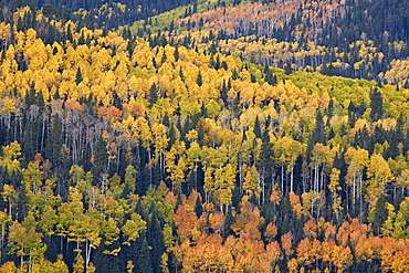 Yellow and orange hillside of aspen in the fall, Uncompahgre National Forest, Colorado, United States of America, North America