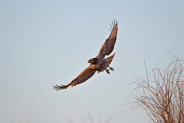 Juvenile red-tailed hawk (Buteo jamaicensis) in flight, Bosque del Apache National Wildlife Refuge, New Mexico, United States of America, North America