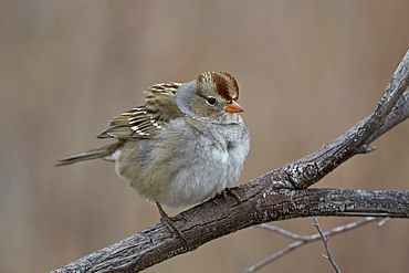 White-crowned sparrow (Zonotrichia leucophrys), juvenile, Bosque del Apache National Wildlife Refuge, New Mexico, United States of America, North America