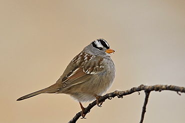 White-crowned sparrow (Zonotrichia leucophrys), Bosque del Apache National Wildlife Refuge, New Mexico, United States of America, North America