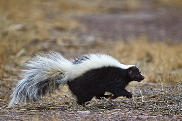 Striped skunk (Mephitis mephitis), Bosque del Apache National Wildlife Refuge, New Mexico, United States of America, North America