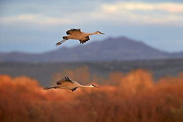 Two sandhill crane (Grus canadensis) in flight, Bosque del Apache National Wildlife Refuge, New Mexico, United States of America, North America
