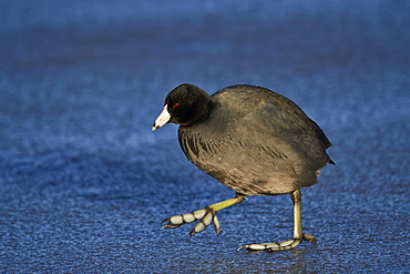 American coot (Fulica americana) walking on ice, Bosque del Apache National Wildlife Refuge, New Mexico, United States of America, North America