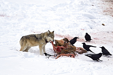 Gray wolf (Canis lupus) 870F of the Junction Butte Pack at an elk carcass in the winter, Yellowstone National Park, Wyoming, United States of America, North America