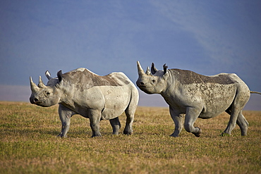 Two black rhinoceros (hook-lipped rhinoceros) (Diceros bicornis), Ngorongoro Crater, Tanzania, East Africa, Africa
