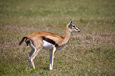 Thomson's gazelle (Gazella thomsonii) female giving birth, Ngorongoro Crater, Tanzania, East Africa, Africa