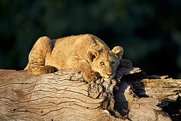 Lion (Panthera leo) cub on a downed tree trunk, Ngorongoro Crater, Tanzania, East Africa, Africa