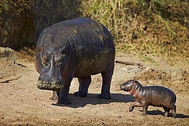Hippopotamus (Hippopotamus amphibius) mother and baby out of the water, Serengeti National Park, Tanzania, East Africa, Africa