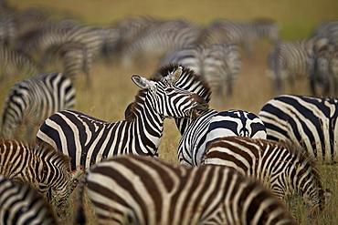 Common zebra (plains zebra) (Burchell's zebr) (Equus burchelli) herd, Serengeti National Park, Tanzania, East Africa, Africa