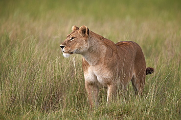 Lion (Panthera leo) female (lioness) in tall grass, Serengeti National Park, Tanzania, East Africa, Africa