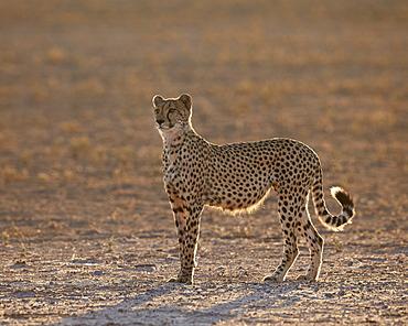Cheetah (Acinonyx jubatus) backlit on the dry Auob River, Kgalagadi Transfrontier Park, encompassing the former Kalahari Gemsbok National Park, South Africa, Africa