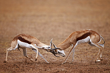 Two springbok (Antidorcas marsupialis) bucks fighting, Kgalagadi Transfrontier Park, encompassing the former Kalahari Gemsbok National Park, South Africa, Africa