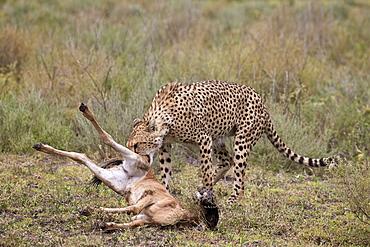 Male cheetah (Acinonyx jubatus) killing a newborn blue wildebeest (brindled gnu) (Connochaetes taurinus) calf, Ngorongoro Conservation Area, UNESCO World Heritage Site, Serengeti, Tanzania, East Africa, Africa