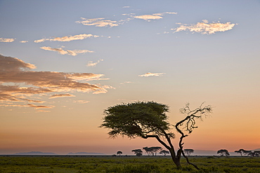 Acacia tree and clouds at dawn, Ngorongoro Conservation Area, UNESCO World Heritage Site, Serengeti, Tanzania, East Africa, Africa
