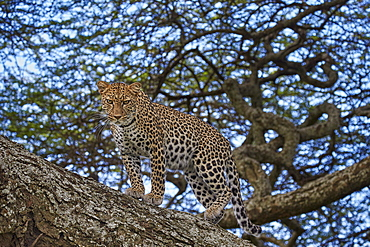 Leopard (Panthera pardus) in a tree, Ngorongoro Conservation Area, UNESCO World Heritage Site, Serengeti, Tanzania, East Africa, Africa