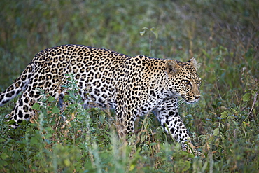 Leopard (Panthera pardus), Ngorongoro Conservation Area, UNESCO World Heritage Site, Serengeti, Tanzania, East Africa, Africa