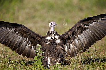 Hooded vulture (Necrosyrtes monachus) with wings spread, Ngorongoro Conservation Area, UNESCO World Heritage Site, Serengeti, Tanzania, East Africa, Africa