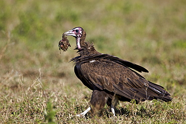 Hooded vulture (Necrosyrtes monachus) in mixed juvenile and adult plumage with a prize from a wildebeest kill, Ngorongoro Conservation Area, UNESCO World Heritage Site, Serengeti, Tanzania, East Africa, Africa