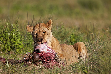 Lioness (Panthera leo) at a wildebeest carcass, Ngorongoro Conservation Area, UNESCO World Heritage Site, Serengeti, Tanzania, East Africa, Africa