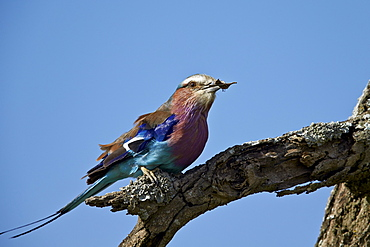 Lilac-breasted roller (Coracias caudata) with an insect, Ngorongoro Conservation Area, UNESCO World Heritage Site, Serengeti, Tanzania, East Africa, Africa