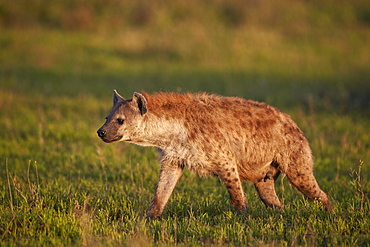 Spotted hyena (spotted hyaena) (Crocuta crocuta), Ngorongoro Conservation Area, UNESCO World Heritage Site, Serengeti, Tanzania, East Africa, Africa