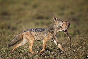 Black-backed jackal (silver-backed jackal) (Canis mesomelas) carrying half a Thomson's gazelle (Gazella thomsonii) calf, Ngorongoro Conservation Area, UNESCO World Heritage Site, Serengeti, Tanzania, East Africa, Africa