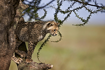 Cheetah (Acinonyx jubatus) cub in an acacia tree, Ngorongoro Conservation Area, UNESCO World Heritage Site, Serengeti, Tanzania, East Africa, Africa