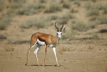 Springbok (Antidorcas marsupialis) buck, Kgalagadi Transfrontier Park encompassing the former Kalahari Gemsbok National Park, South Africa, Africa