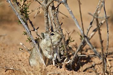 Brant's whistling rat (Parotomys brantsii), Kgalagadi Transfrontier Park encompassing the former Kalahari Gemsbok National Park, South Africa, Africa