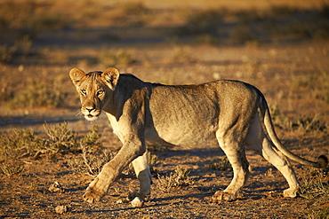 Lion (Panthera leo), immature, Kgalagadi Transfrontier Park encompassing the former Kalahari Gemsbok National Park, South Africa, Africa
