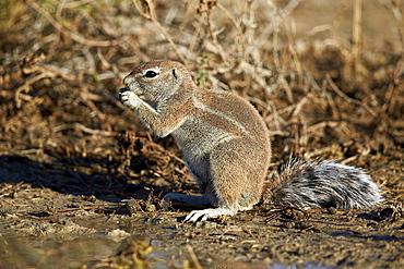 Cape ground squirrel (Xerus inauris) eating, Kgalagadi Transfrontier Park encompassing the former Kalahari Gemsbok National Park, South Africa, Africa