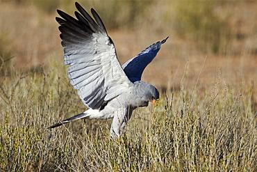 Southern pale chanting goshawk (Melierax canorus) hunting, Kgalagadi Transfrontier Park encompassing the former Kalahari Gemsbok National Park, South Africa, Africa