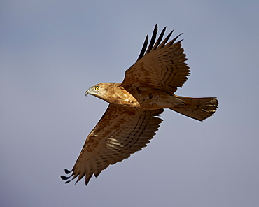 Black-breasted snake eagle (black-chested snake eagle) (Circaetus pectoralis) in flight, immature, Kgalagadi Transfrontier Park, encompassing the former Kalahari Gemsbok National Park, South Africa, Africa